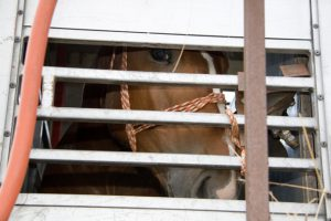 whw_horse_transport