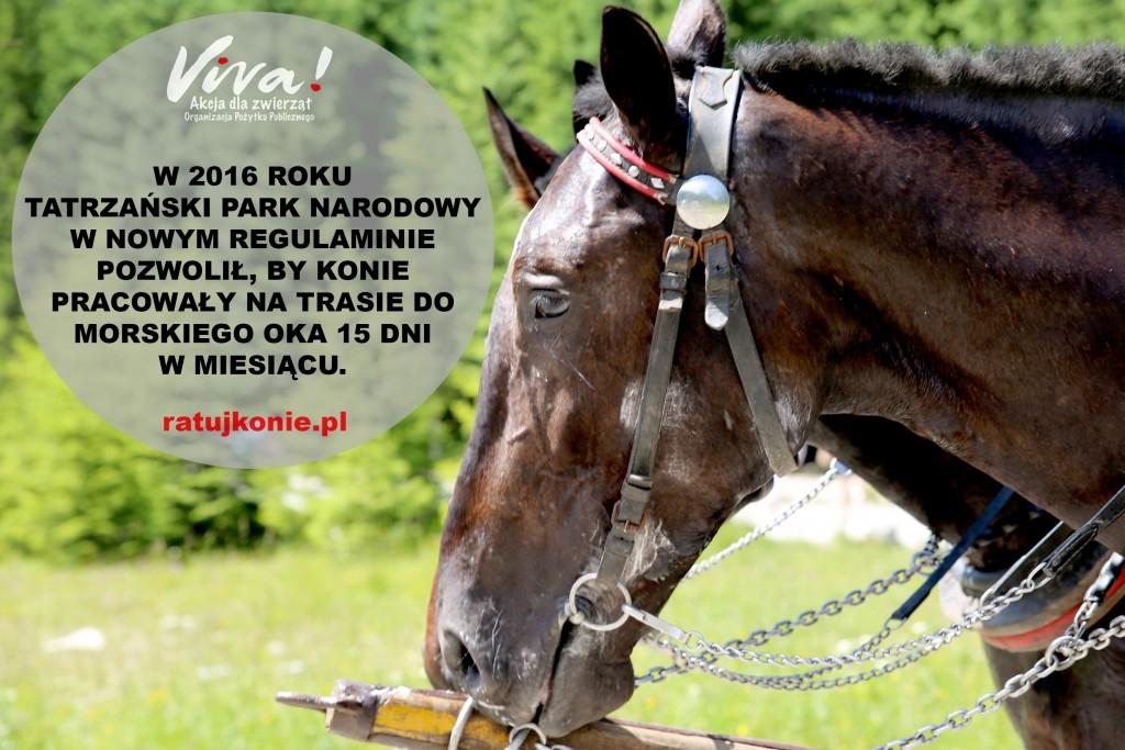 konie_morskie_oko_17