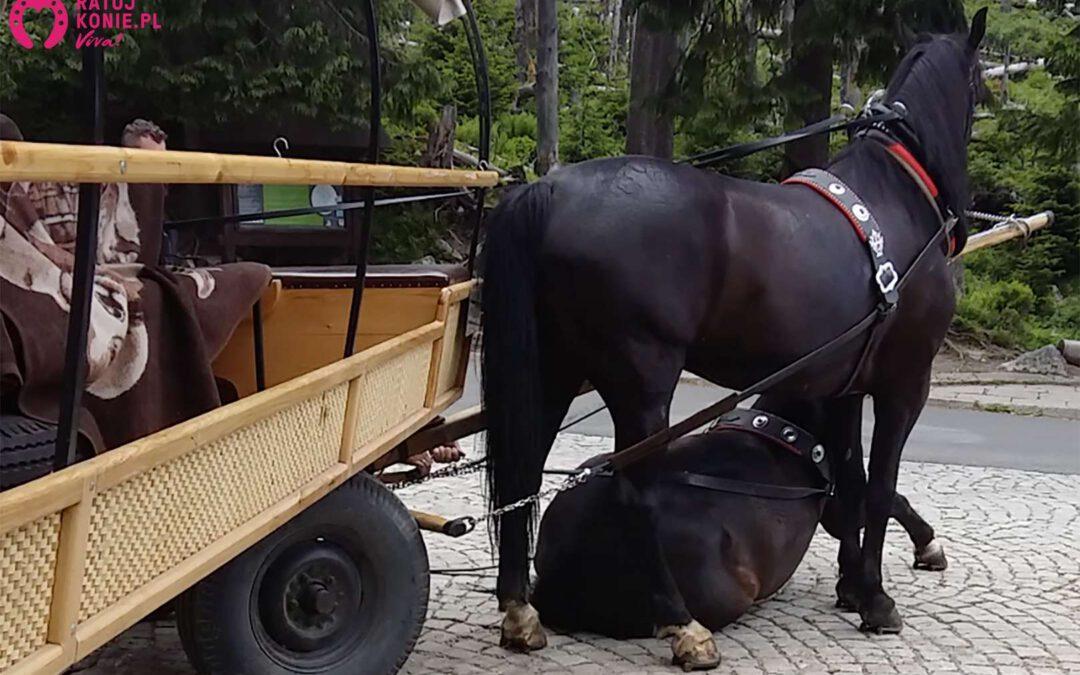 Kolejny koń przewrócił sięna trasie do Morskiego Oka