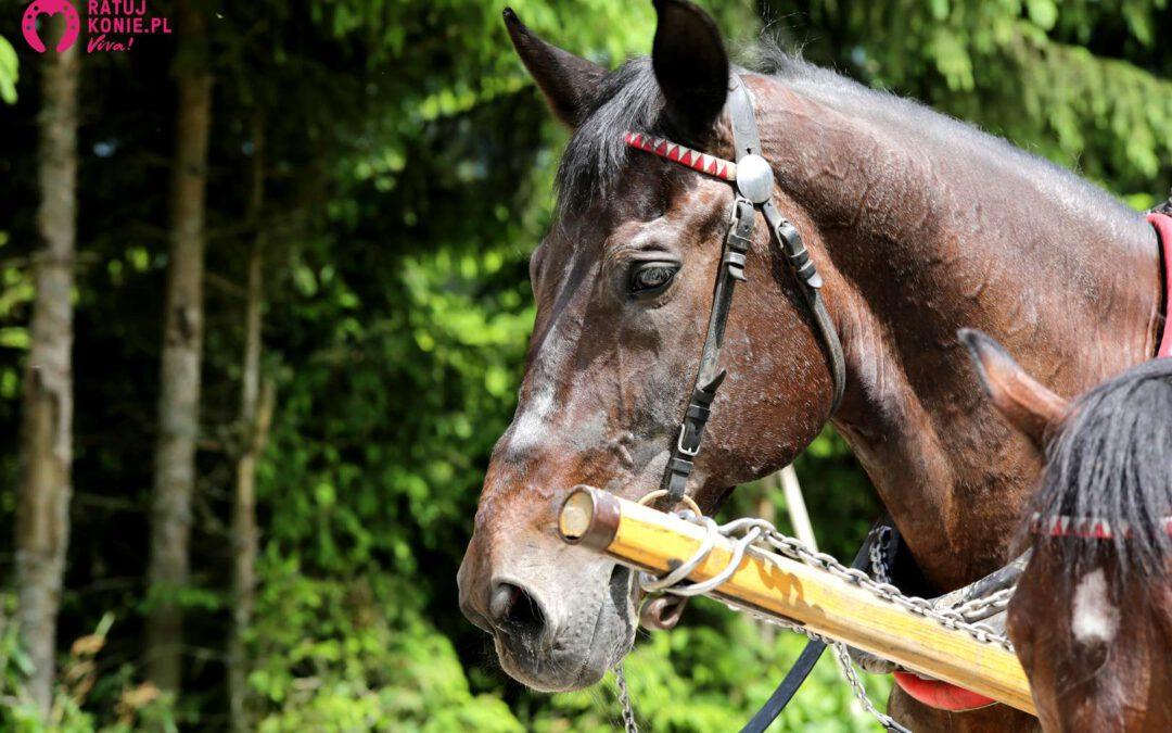 Furmani oskarżeni o znęcanie nad końmi z Morskiego Oka – ruszył proces