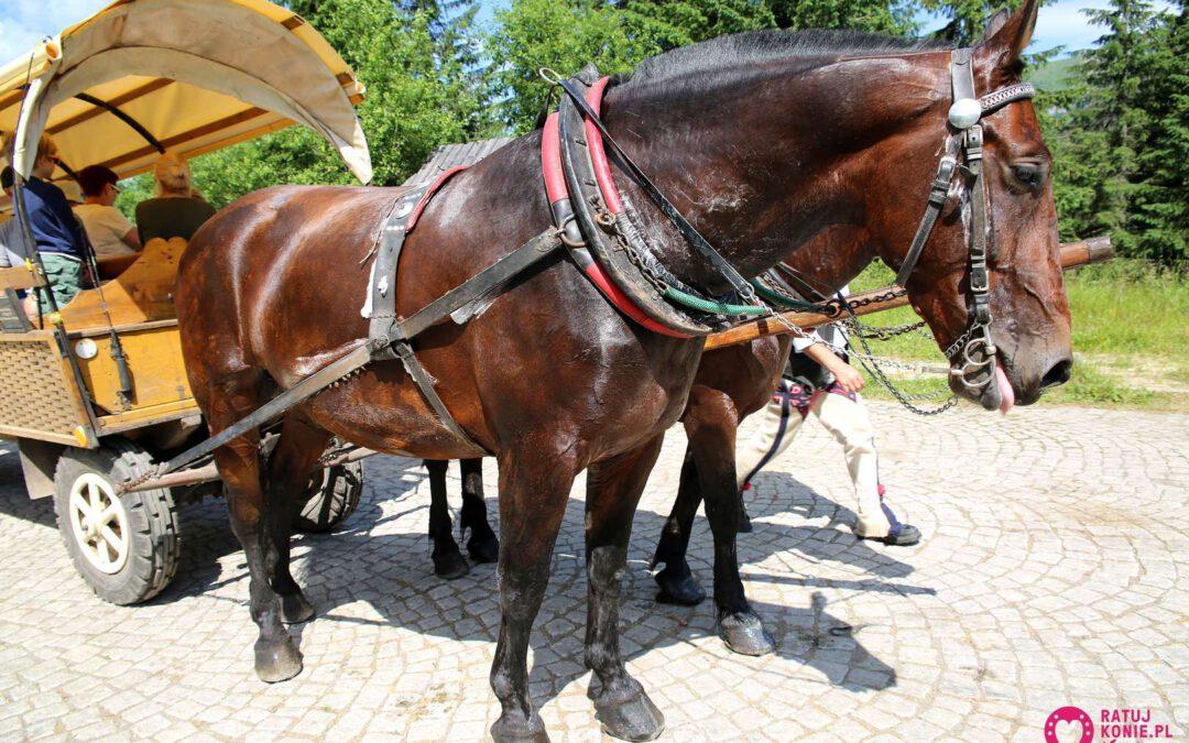 Praca koni w upały