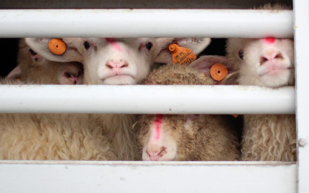 Raport o transporcie żywych jagniąt z Podhala do Włoch