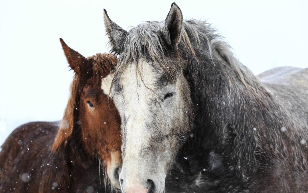 Historia uboju koni na mięso w USA