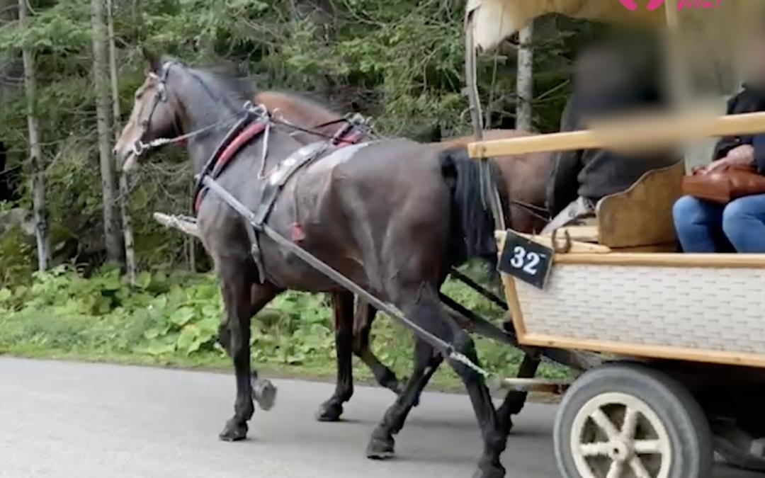 Kulawy koń ciągnął turystów do Morskiego Oka